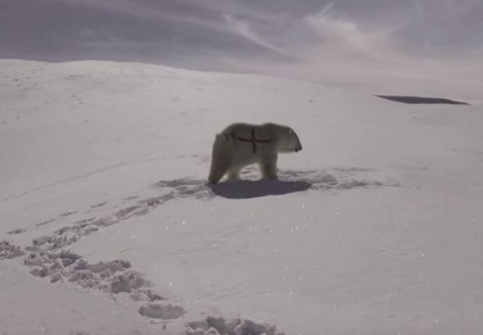 Дозахищалася: Карді Бі встала на захист полярних ведмедів і опинилася «в дурнях»